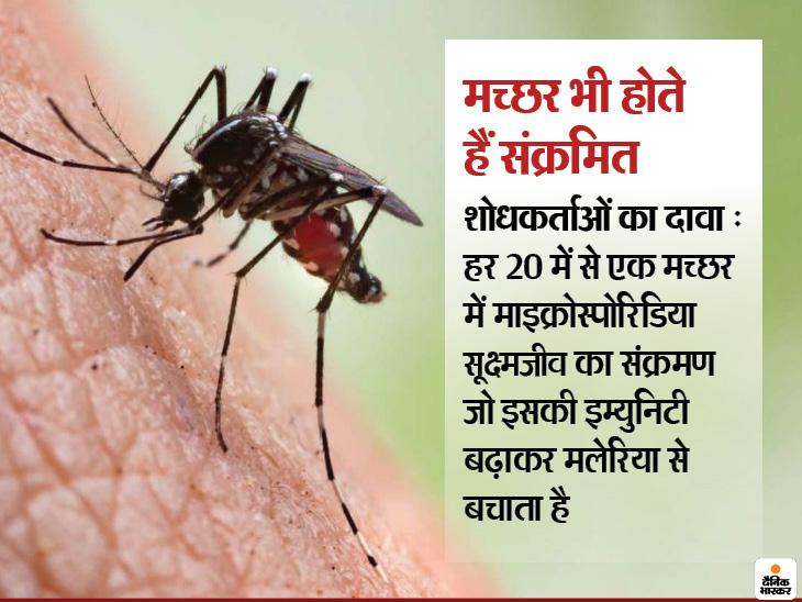 वैज्ञानिकों ने मच्छरों को मलेरिया से बचाने वाला सूक्ष्मजीव खोजा, यह इसे संंक्रमित करके वाहक बनने से रोकता है|लाइफ & साइंस,Happy Life - Dainik Bhaskar