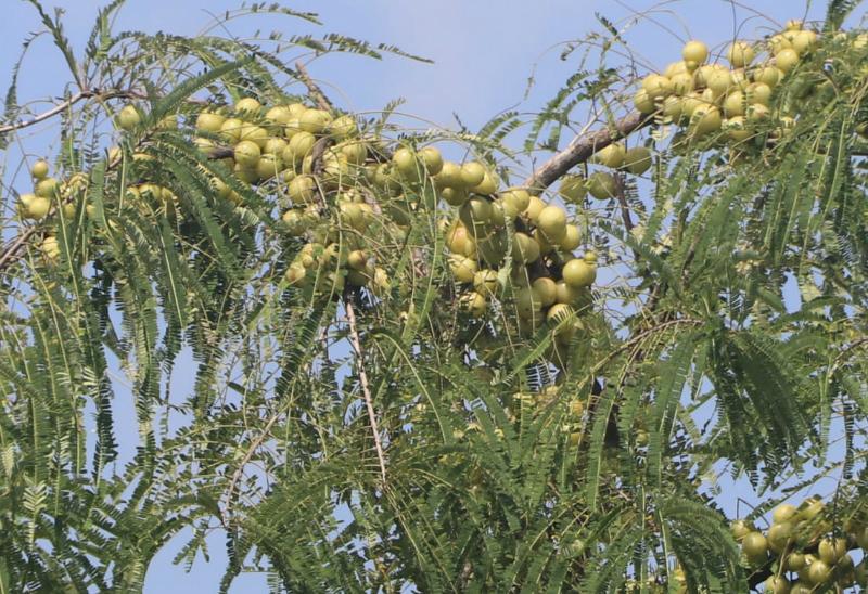प्रतापगढ़ में आंवले की अच्छी पैदावार होती है। लेकिन, लॉकडाउन की वजह से किसानों को रोज 5 हजार रुपए तक का नुकसान हो रहा है।