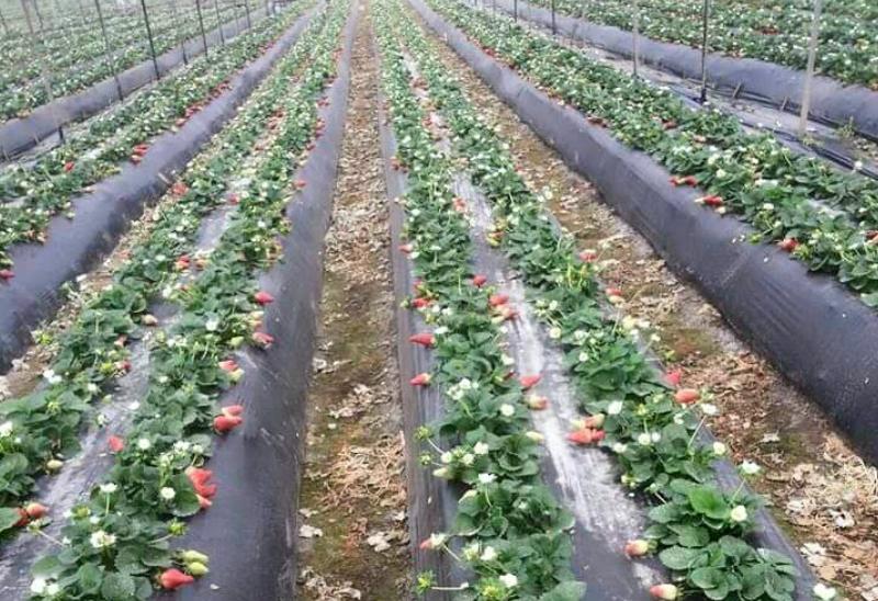 हर बार की तरह स्ट्रॉबेरी की खेती हुई तो है. लेकिन काटी नहीं। क्योंकि, किसानों का कहना है कि काट भी ली तो रखेंगे कहां?