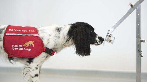 मेडिकल डिक्टेशन डॉग को इस तरह से अलग-अलग गंध सुंघा कर प्रशिक्षण दिया जाता है।