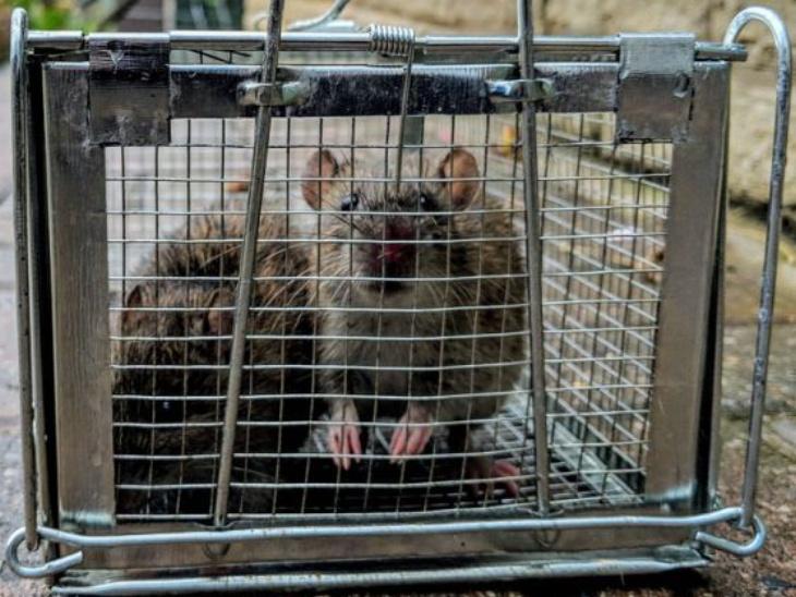"""ब्रिटिश पेस्ट कंट्रोल एसोसिएशन के एक सर्वे से पता चला है कि ब्रिटेन में बड़े चूहों के उपद्रव की घटनाओं में 50 फीसदी का इजाफा हुआ है। द सन अखबार की रिपोर्ट के मुताबिक देशभर में चूहे पकड़ने वालों ने इसकी पुष्टि करते हुए कहा है कि उनका काम बढ़ गया है। एसोसिएशन की टेक्निकल ऑफिसर नताली बुंगे के मुताबिक: """"हमारे पास अब तक ये रिपोर्ट आती थी कि चूहे खाली इमारतों में ठिकाने बना रहे हैं लेकिन,अब ऐसा लगता है कि उनके रहवास का पैटर्न भी बदल रहा है और वे हमारे घरों के आसपास बेखौफ नजर आ रहे हैं।"""