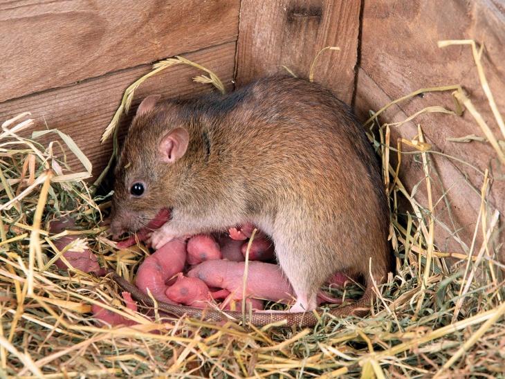 कुतरने वाले जीवों पर पीएचडी करने वाले बॉबी कोरिगन कहते हैं: 'चूहों की एक नई' सेना आती है, और जिस भी सेना के पास सबसे ताकतवर चूहे होते हैं, तो वह उस इलाके को जीत लेता है।' चूहों की आबादी तेजी से बढ़ती है, क्योंकि बच्चों को जन्म देने के तुरंत बाद चूहिया में फिर से गर्भधारण करने की क्षमता होती है। इस तरह वे 365 दिन में करीब 8 बार गर्भवती होकर एक बार में 7 या उससे ज्यादा बच्चे पैदा करती हैं।