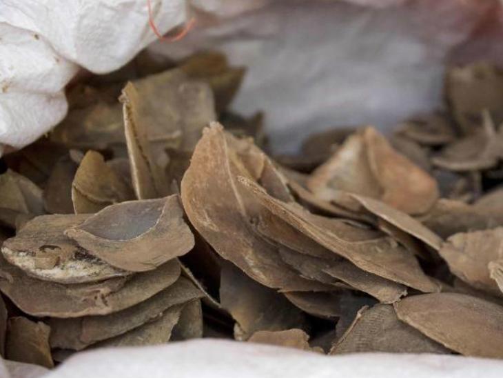 सिंगापुर में जुलाई 2019 में पैंगोलिन के स्केल्स की एक बड़ी खेप बरामद की गई थी। इनका प्रयोग चमड़ी और गठिया की दवाओं को बनाने में किया जाता है। फोटो साभार : सीएनएन