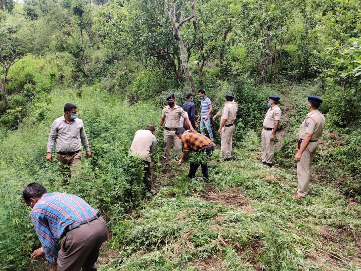 पुलिस द्वारा तहसीलदार दादाहु को भी इस बारे सूचना दी गई तथा गवाहों की मौजूदगी में उक्त पौधे बरामद किए गए। - Dainik Bhaskar
