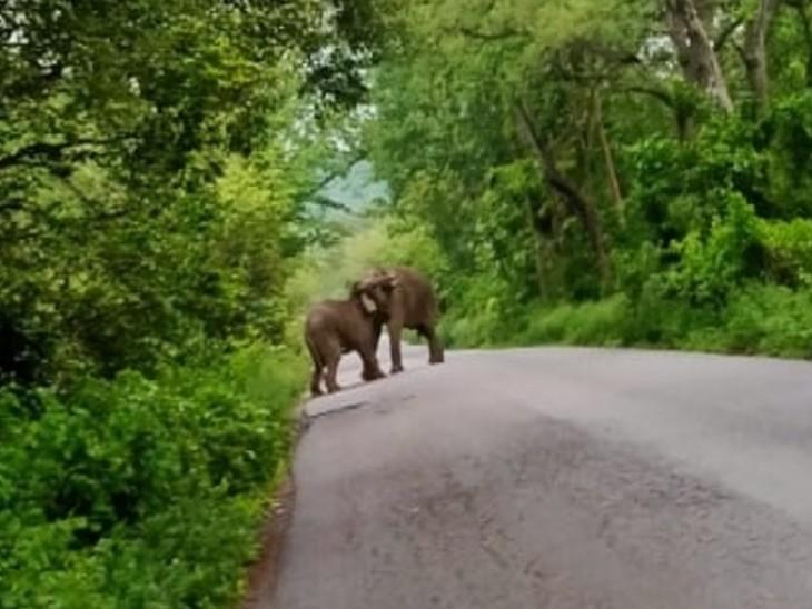 हाथियों के रोड पर आ जाने से दोनों ओर का ट्रैफिक थम गया। कलेसर नेशनल पार्क में आए दो गजराज शाम करीब 6:15 बजे जंगल से निकलकर जगाधरी पावंटासाहिब एनएच 73 पर आकर चहल कदमी करने लगे - Dainik Bhaskar