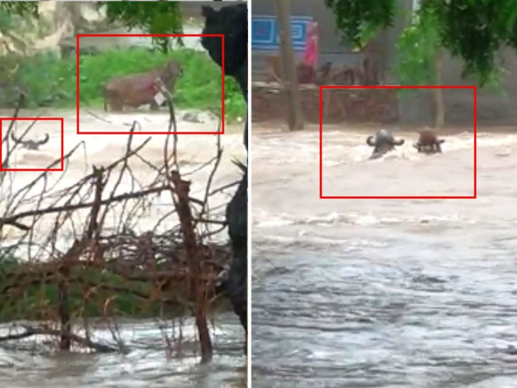 पडधरी तहसील के मोटा खिजडिया गांव की गौशाला में करीब 40 पशु थे, जो पानी में तैरते नजर आए।