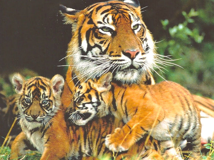 देश में 2967 बाघ हैं। 2006 में यह संख्या 1411 थी। भारत ने करीब 9 साल पहले बाघों की संख्या 2022 तक दोगुना करने का लक्ष्य तय किया था। - Dainik Bhaskar