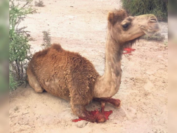 Kerala-like cruelty in Sajansar: the camel's feet cut off with an ax when entering the field