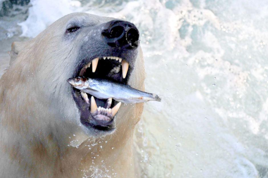 जलवायु परिवर्तन से तापमान बढ़ रहा है। इससे बर्फ पिघल रही है, जिससे भालुओं के लिए नई चुनौतियां खड़ी हैं।