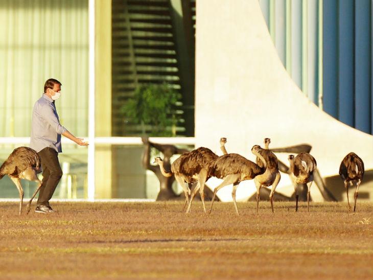 महामारी के बीच ब्राजील के राष्ट्रपति जायर बोल्सोनारो रिआ पक्षी (उड़ नहीं सकती) को दाना खिलाते। देश में संक्रमण के मामले 21 लाख से ज्यादा हो गए हैं।