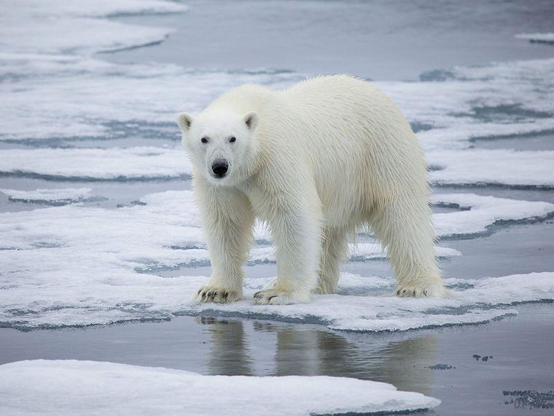 जलवायु परिवर्तन के कारण आर्कटिक में बर्फ 40% तक पिघल गई है। इससे ध्रुवीय भालुओं के भोजन स्रोत तेजी से घटे हैं।
