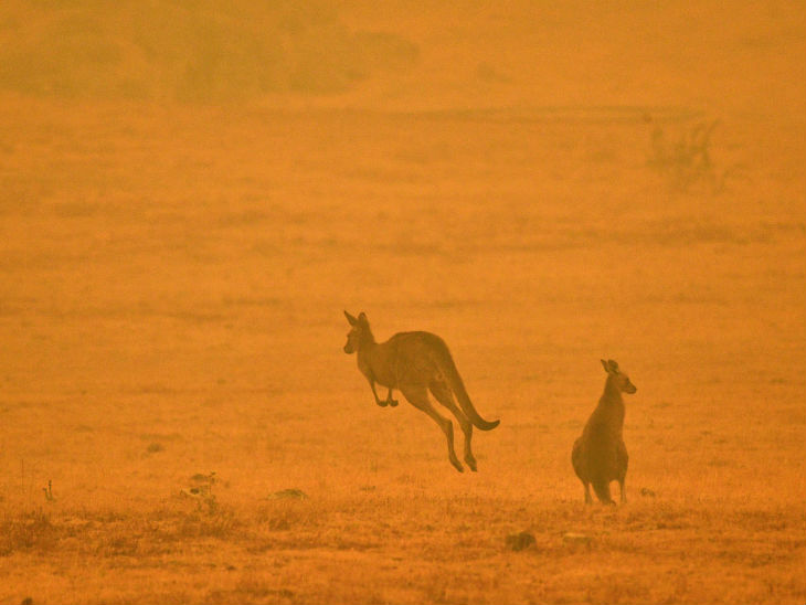 ऑस्ट्रेलिया की सरकार ने 113 ऐसे जानवरों की पहचान की थी, जिन्हें तत्काल मदद की जरूरत थी।