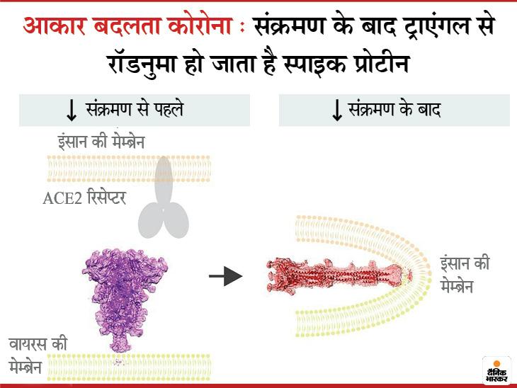 संक्रमण के बाद स्पाइक प्रोटीन रॉड जैसा आकार ले रहा; यह नई जानकारी इस वायरस को खत्म करने में मदद कर सकती है|लाइफ & साइंस,Happy Life - Dainik Bhaskar
