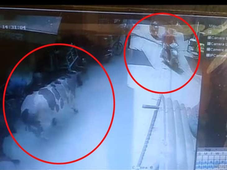 दौड़ते हुए सांडों ने स्कूटी सवार को इतनी जोरदार टक्कर मारी, अस्पताल पहुंचने से पहले ही हुई मौत|हरियाणा,Haryana - Dainik Bhaskar
