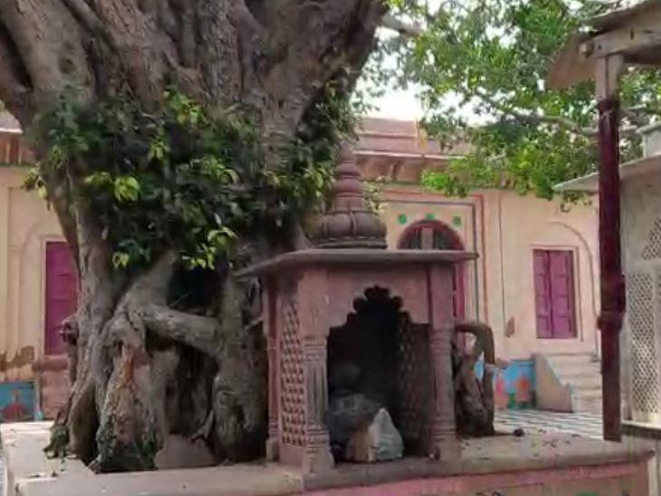 गोपियों का वस्त्र चुराने के बाद कृष्ण इसी पेड पर बैठे थे।