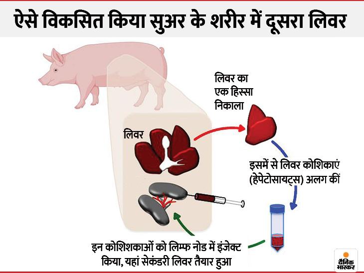 वैज्ञानिकों ने सुअर के शरीर में विकसित किया लिवर, दावा किया; जल्द ही इंसानों में भी ऐसा हो सकेगा और लिवर ट्रांसप्लांटेशन की जरूरत नहीं पड़ेगी|लाइफ & साइंस,Happy Life - Dainik Bhaskar