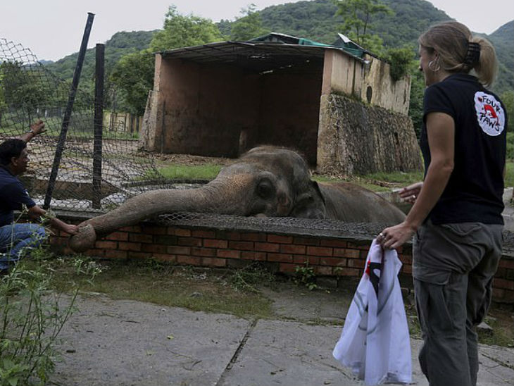 During the medical examination, the staff of 'Four Poses' used to comfort the elephant's trunk by caressing it.