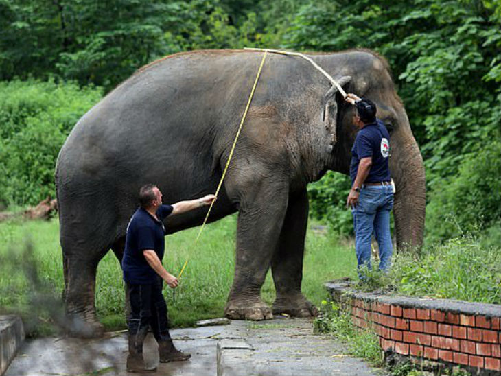 Employees measuring the length of the elephant.