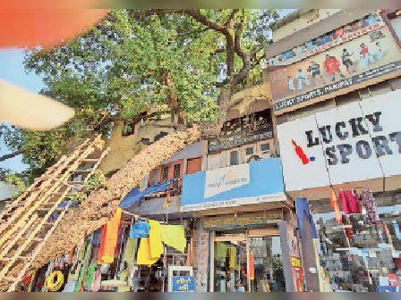 दुकानों के ऊपर पेड़ गिरने से हो सकता है बड़ा हादसा पानीपत,Panipat - Dainik Bhaskar