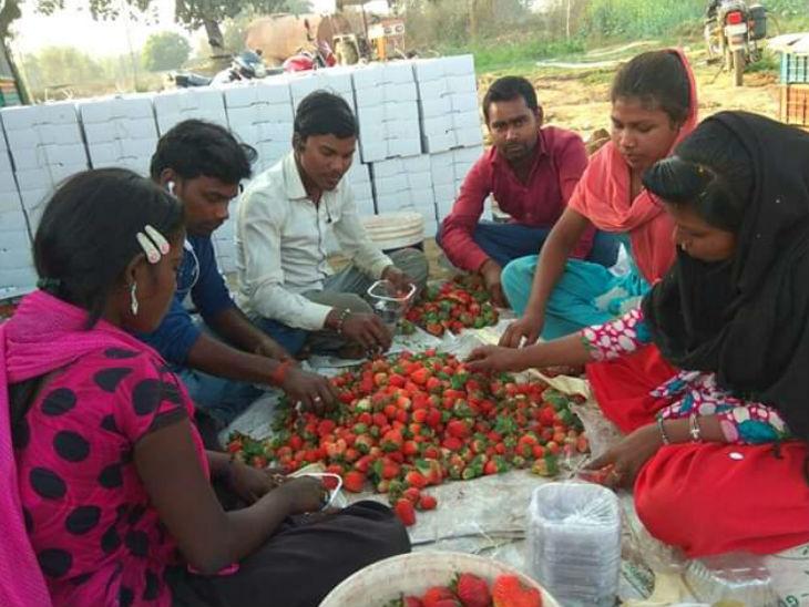 झारखंड के पलामू जिले के रहने वाले दीपक इंजीनियरिंग करने के बाद एक कंपनी में नौकरी कर रहे थे। तीन साल पहले उन्होंने नौकरी छोड़ स्ट्रॉबेरी की खेती करना शुरू किया। आज वे लाखों में कमा रहे हैं साथ ही गांव वालों को भी रोजगार दे रहे हैं। - Dainik Bhaskar