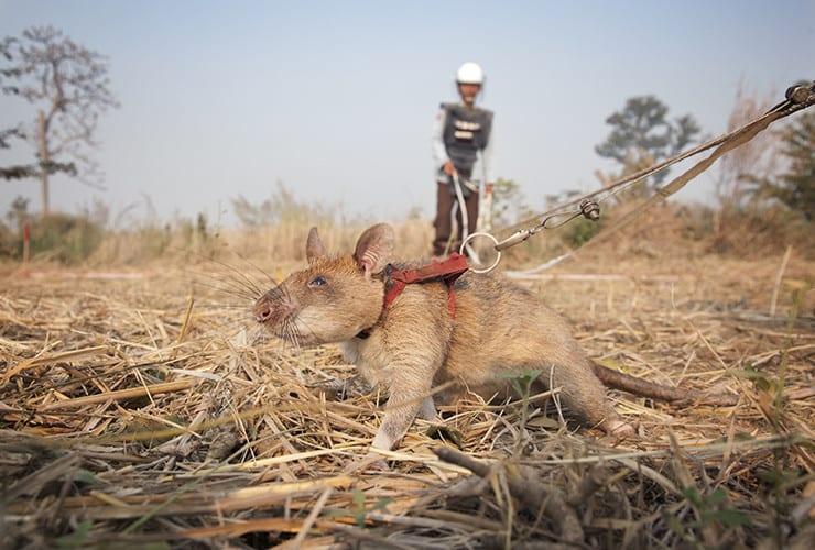 மறைக்கப்பட்ட கண்ணிவெடிகளைக் கண்டுபிடிக்க மாகவா உதவுகிறது.  இது ஒரு ஆப்பிரிக்க மாபெரும் பைகள் எலி, இது APOPO ஆல் பயிற்சி பெற்றது.