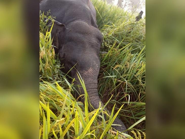 मैनपुर और धवलपुर इलाके में 20 हाथियों का समूह घूम रहा था। सोमवार सुबह हाथियों का समूह ओडिशा की ओर बढ़ रहा था। इसी दौरान पारागांव में एक नर हाथी 7 से 8 फीट की ऊंचाई पर लटक रहे तार की चपेट में आ गया।