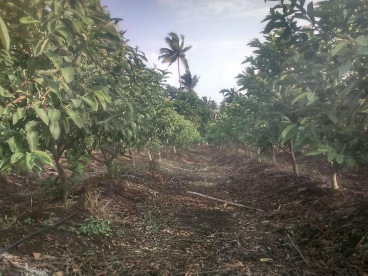 वे केमिकल फर्टिलाइजर की जगह जैविक खाद का उपयोग करते हैं। पेड़ की सड़ी पत्तियों को गड्ढा खोदकर नीचे डाल देते हैं।