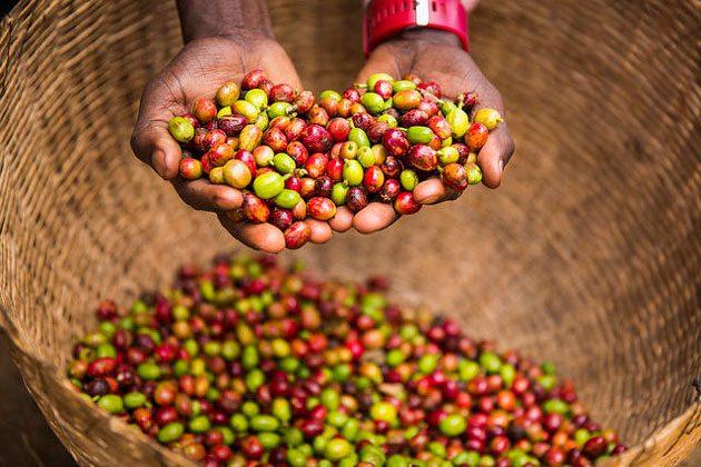 इन्हीं लाल चेरियों से बीज निकालकर उससे कॉफी तैयार की जाती है।