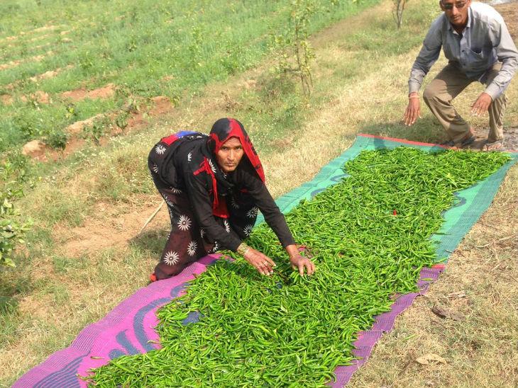 अभी निहारिका 50 एकड़ जमीन पर ऑर्गेनिक फार्मिंग कर रही हैं। जिसमें फल, सब्जियां और मिर्च- मसाले से लेकर वो सबकुछ उगाती हैं जिसका उपयोग अचार बनाने में होता है।