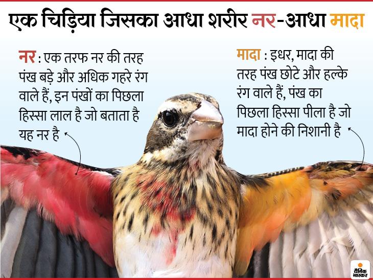 वैज्ञानिकों ने खोजी अनोखी चिड़िया, यह आधी नर है और आधी मादा; इसमें नर जैसे बड़े पंख हैं और दाहिने हिस्से में मादा जैसा अंडाशय|लाइफ & साइंस,Happy Life - Dainik Bhaskar