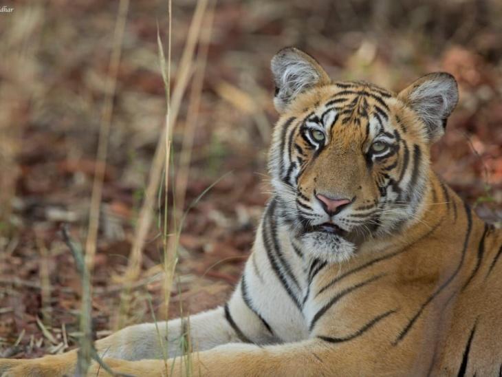 टाइगर की ये फोटो ऐश्वर्या ने क्लिक की है। वो कहती हैं कि किसी भी जानवर से उन्हें डर नहीं लगता है।