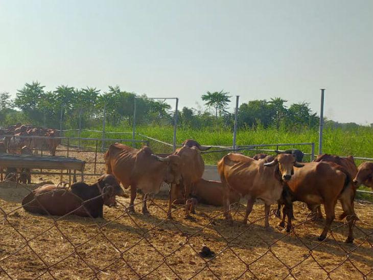 हरेश ने 4 गायों से गोशाला की शुरुआत की। धीरे-धीरे इनकी संख्या बढ़ाते गए और आज उनके पास 44 गायें हैं।