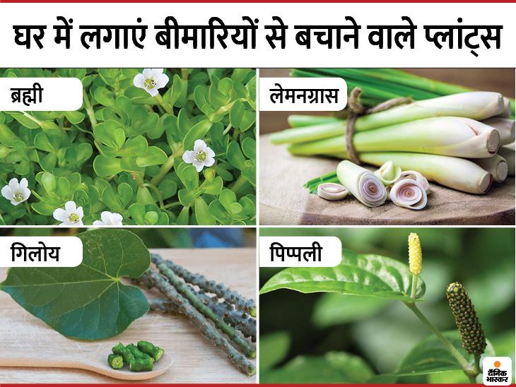 घर में लगाएं पिप्पली, अश्वगंधा और गिलोय जैसे पौधे ये डेंगू-मलेरिया से बचाएंगे और हृदय रोगों का खतरा घटाएंगे|लाइफ & साइंस,Happy Life - Dainik Bhaskar