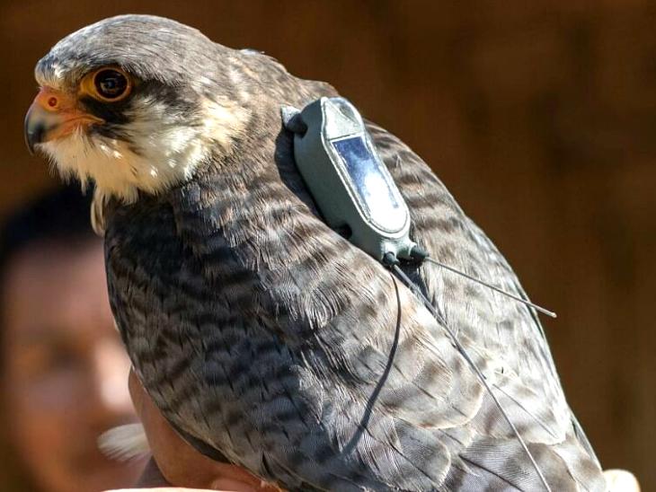 एक साल में 33 हजार किमी. का चक्कर लगाकर लौटी चिड़िया, अब इन्हें रेडियो टैग से बचाने की तैयारी; जानिए कैसे