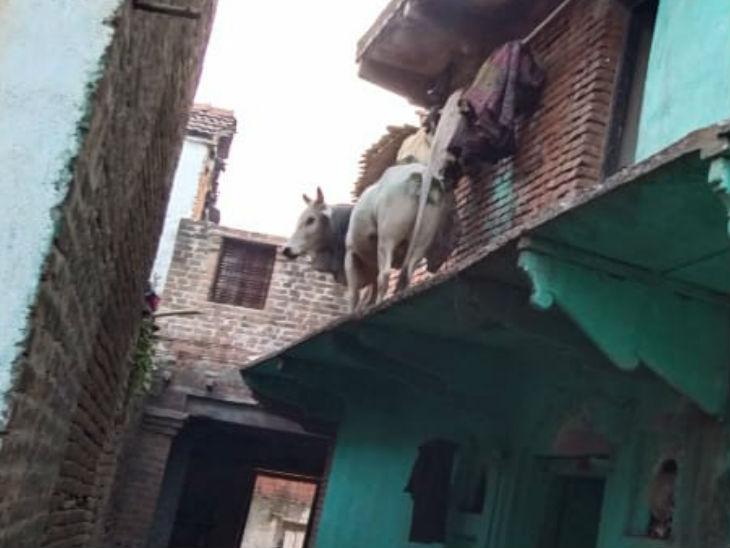 ललितपुर में अजब-गजब नजारा दिखा: सीढ़ियों से छत पर चढ़ गया थाड़, छज्जे से पुलिस ने 3 घंटे की मशक्कत के बाद नीचे उतारा।