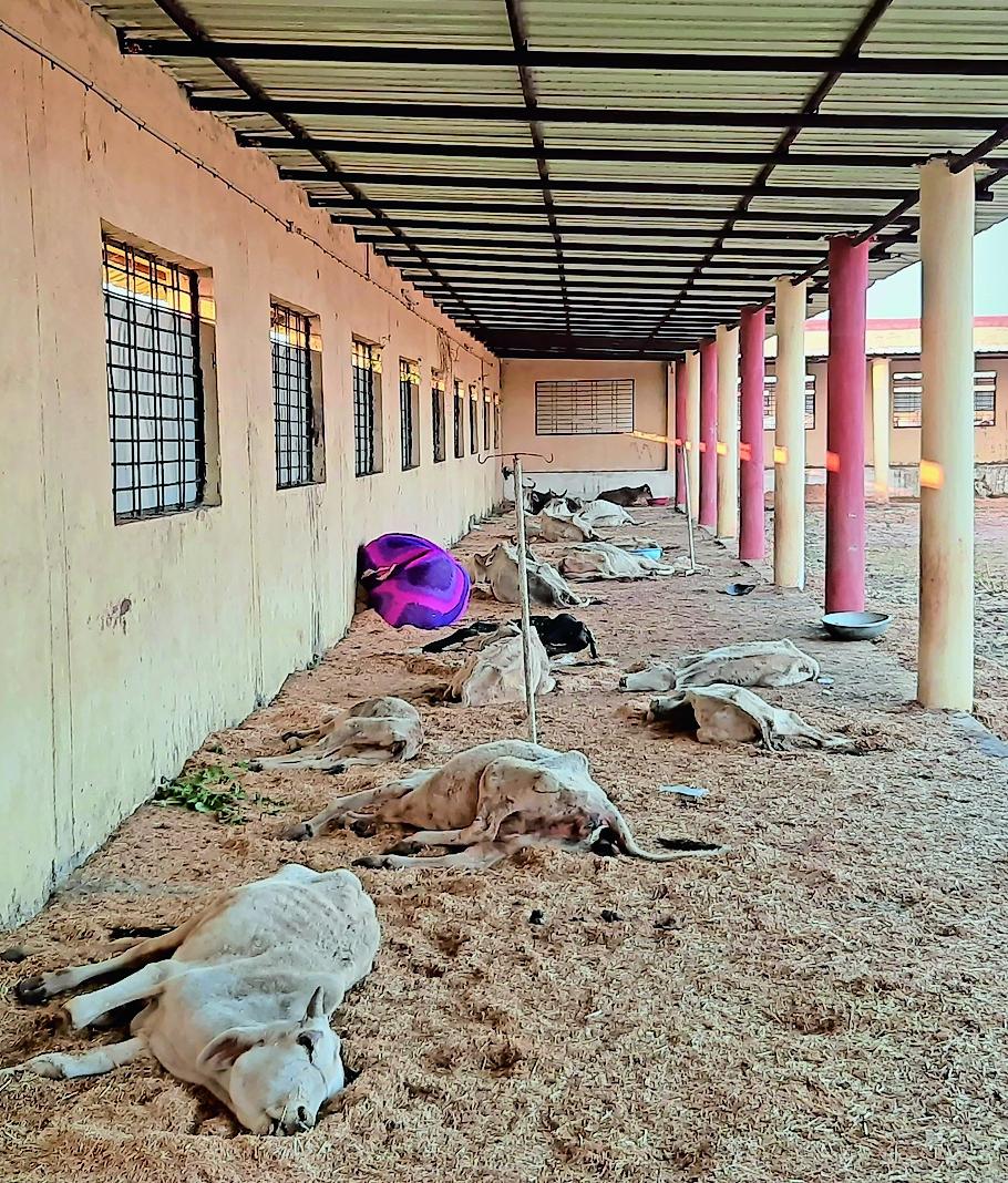 अभयारण्य में कई गायों की सेहत बेहद खराब दिखाई दी।