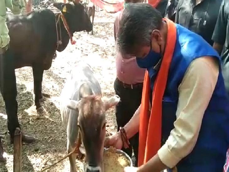 विजयवर्गीय ने गाय को चारा भी खिलाया।