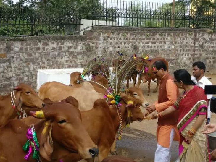 गायों को रोटी खिलाते मुख्यमंत्री शिवराज सिंह चौहान। उन्होंने यह फोटो ट्वीट किया।