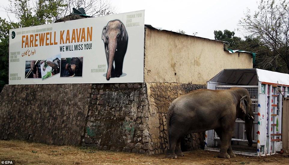 लम्बी कानूनी लड़ाई के बाद 29 नवम्बर को उसे कम्बोडिया भेजा जाएगा, जहां वो अपने जैसे हाथियों के साथ समय बिताएगा। फोटो साभार : डेलीमेल