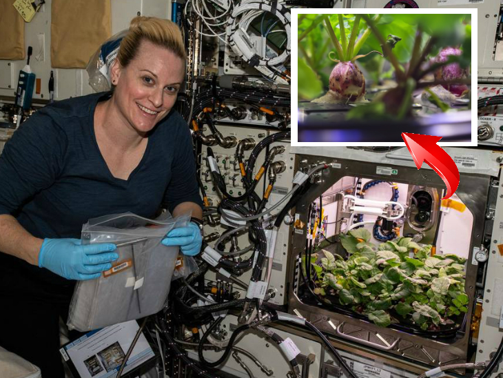 पहली बार अंतरिक्ष में उगाई गई मूली की फसल, 2021 में इसे धरती पर लाया जाएगा; नासा ने शेयर की फोटो|लाइफ & साइंस,Happy Life - Dainik Bhaskar