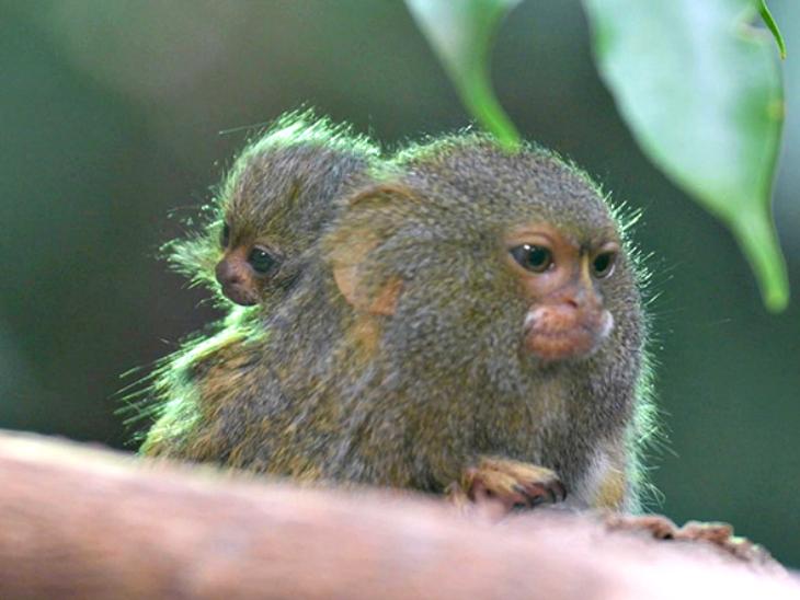 इंग्लैंड में दुनिया के सबसे छोटे 2 इंच लम्बे जुड़वा बंदर जन्मे, इनका वजन मात्र 10 ग्राम|लाइफ & साइंस,Happy Life - Dainik Bhaskar