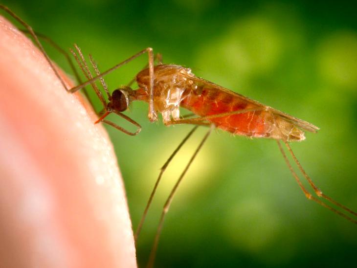 मलेरिया की 100 साल पुरानी गुत्थी सुलझी, पता चला मलेरिया दिमाग पर कैसे असर डालता है; इससे कम की जा सकेंगी मौतें|लाइफ & साइंस,Happy Life - Dainik Bhaskar