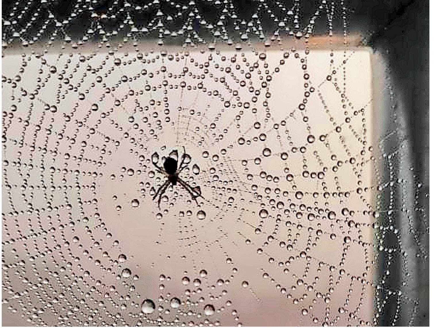 छत्तीसगढ़ के महासमुंद में पारा 8° पर पहुंच गया। मकड़ी के जाले में जमी ओस।