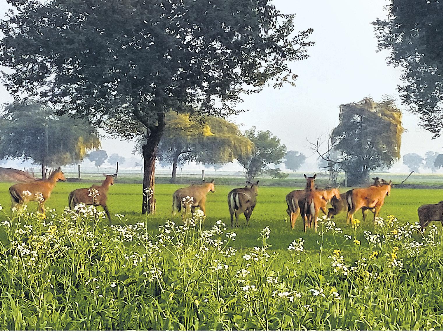 राजस्थान के श्रीगंगानगर में सुबह के समय खेतों में घूमती नील गायें।