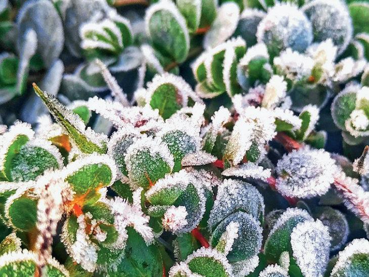 यह तस्वीर छत्तीसगढ़ के मैनपाट की है। यहां सर्दी बढ़ने से पत्तों पर ओस की बूंदें जम गईं।