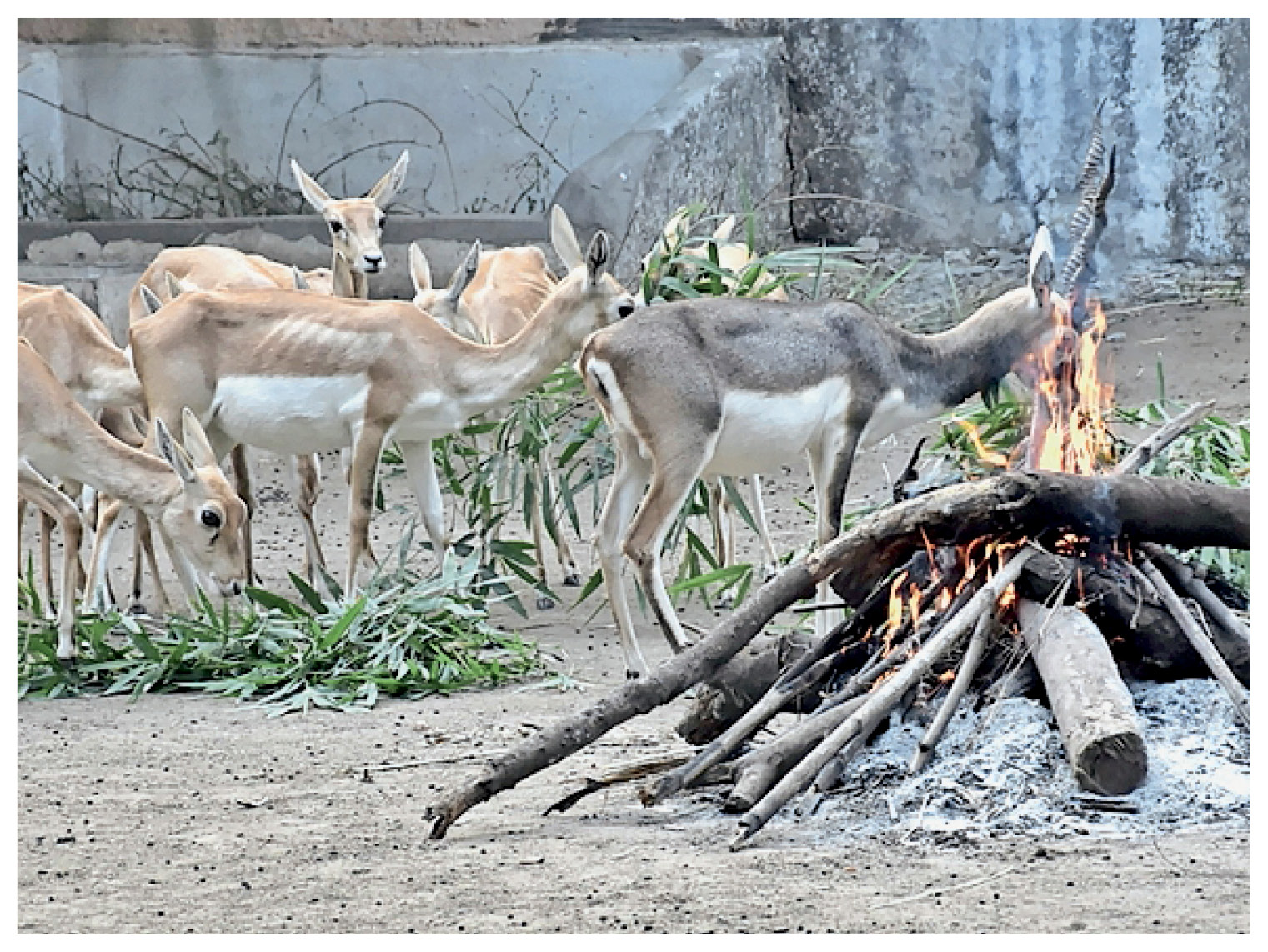 सरथाणा जू में जानवरों को ठंड से बचाने के लिए आग जलाई गई।