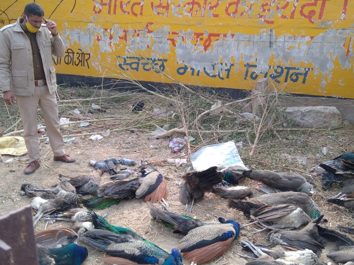 After Jhalawar and Jodhpur, now 66 birds including 52 peacocks died in  Nagaur, rajasthan   झालावाड़ और जोधपुर के बाद अब नागौर में 52 मोर समेत 66  पक्षियों की मौत, कई घायल भी मिले - Dainik ...
