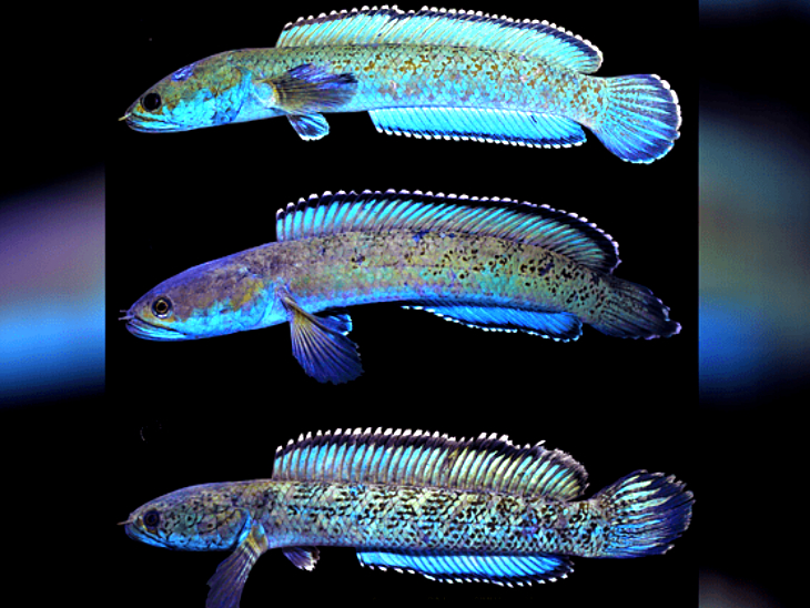 मेघालय में सांप जैसे सिर वाली मछली की एक नई प्रजाति मिली, यह साफ पानी में पाई जाती है|लाइफ & साइंस,Happy Life - Dainik Bhaskar