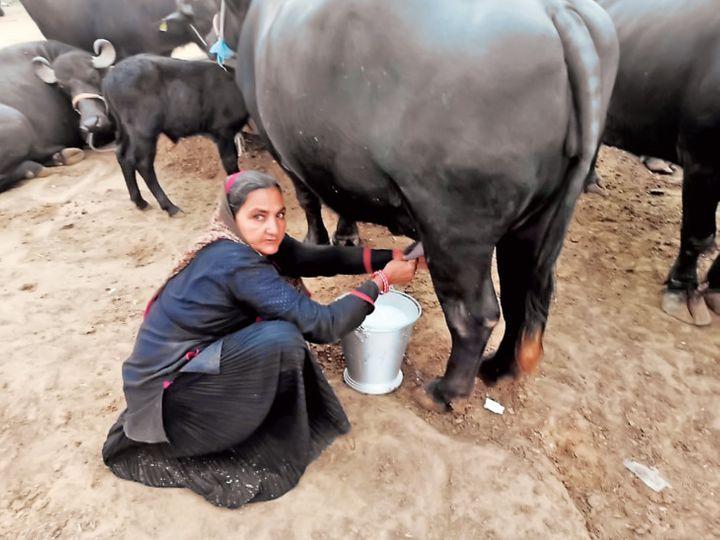 गुजरात की 62 वर्षीय नवलबेन ने एक साल में 1 करोड़ 10 लाख रुपए का दूध बेचा, हर महीने के 3.50 लाख कमाए|गुजरात,Gujarat - Dainik Bhaskar