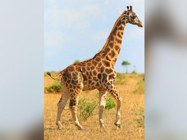 न्यूबियन जिराफ के पैरों की लम्बाई इतनी कम है कि गर्दन के साथ तालमेल नहीं बैठ पा रहा। नतीजा, चलने-फिरने में दिक्कत हो रही है।